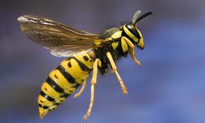 This is what a Wasp looks like